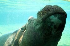 Free Hippo Kiss Royalty Free Stock Photography - 7039847