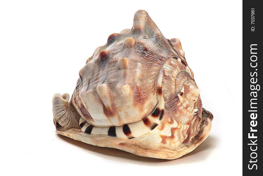Bullmouth Helmet Sea Shell
