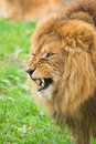Free Angry Lion Royalty Free Stock Images - 7042459