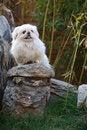 Free Peking Dog Royalty Free Stock Photos - 7045748