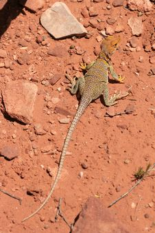 Free Eastern Collared Lizard Stock Images - 7040174