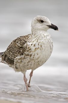Free Great Black-backed Gull (Larus Marinus) Stock Photography - 7040262
