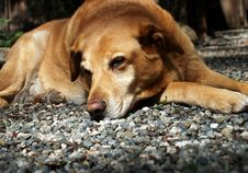 Free Tired Dog Royalty Free Stock Images - 7040669
