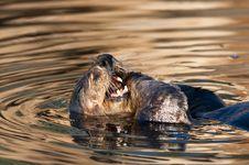 Free Sea Otter Stock Photo - 7041050