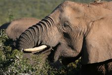 Free African Elephant Royalty Free Stock Images - 7041229