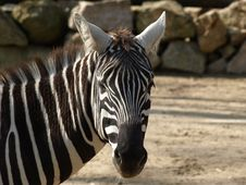 Free Plains Zebra Royalty Free Stock Photos - 7043068
