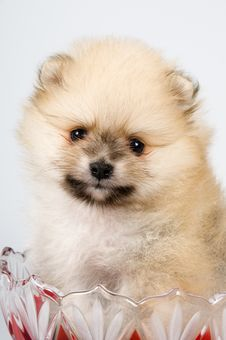 Free The Puppy Of The Spitz-dog Royalty Free Stock Photos - 7044468