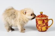 Free The Puppy Of The Spitz-dog Stock Images - 7044504