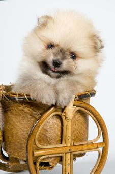 Free The Puppy Of The Spitz-dog Royalty Free Stock Photography - 7044517