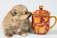 Free The Puppy Of The Spitz-dog Stock Photography - 7044632