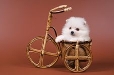 Free The Puppy Of The Spitz-dog Royalty Free Stock Image - 7044736