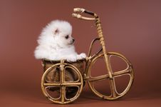 Free The Puppy Of The Spitz-dog Royalty Free Stock Photos - 7044738