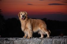 Free Golden Retriever Dog Royalty Free Stock Photos - 7045108
