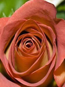 Free Rose1 Stock Image - 7045151