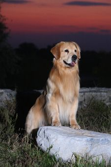 Free Golden Retriever Dog Stock Photography - 7045182