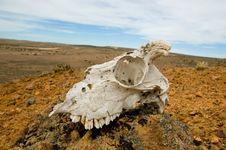 Skull In A Desert Stock Images
