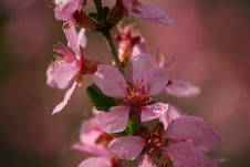 Free Blooms Of Amygdalus Stock Photography - 7046782