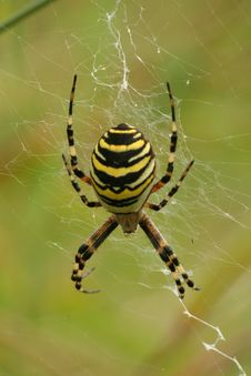 Free Wasp Spider Stock Photo - 7046830