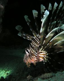 Free Lion Fish Stock Image - 7047311