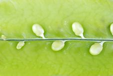 Free Peas Royalty Free Stock Images - 7047339
