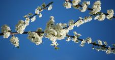 Free Cherry-tree Limb With Blue Background Royalty Free Stock Photos - 7048238