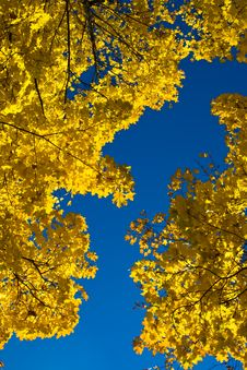 Free Maple In Fall Royalty Free Stock Images - 7048429