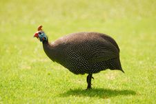 Free Guinea Fowl Stock Photos - 7048523