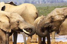 Free Two Elephant Trunks Royalty Free Stock Photography - 7048677