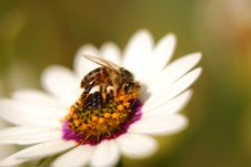 Free Bee On White Flower Royalty Free Stock Photo - 7048885