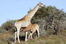 Giraffe Calf And Mother Royalty Free Stock Photography