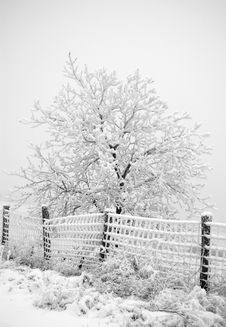 Free Snowy Tree And Fence Royalty Free Stock Image - 7049146