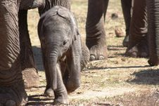 Calf Elephant Royalty Free Stock Photos