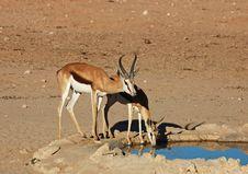 Free African Wildlife: Springbok Antelope Stock Photos - 7049473