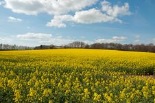 Free Canola Crops In The Countryside Of England. Royalty Free Stock Image - 70411696
