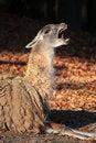 Free The Llama (Lama Glama) Stock Image - 7052691