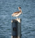 Free Pelican Sitting On A Post Stock Image - 7053351