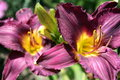 Free Flowering Purple Day Lilly Stock Image - 7053901