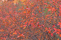 Free Cotoneaster Stock Photo - 7055110