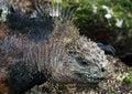 Free Galapagos Marine Iguana Stock Image - 7057091