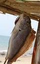 Free Drying A Fish Royalty Free Stock Photos - 7057378