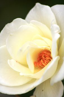 Close Up White Rose Royalty Free Stock Image