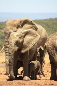 Small Meduim And Large Elephants Royalty Free Stock Images