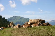 Free Cows In The Mountains Stock Images - 7051514