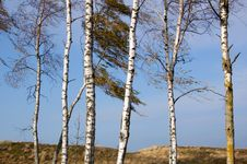 Free Lonely Birch Trees Stock Images - 7051754