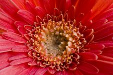 Free Red Flower Stock Photos - 7052443