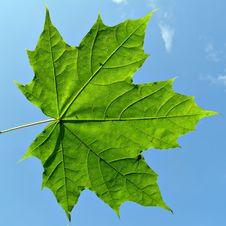 Free Maple Leaf Royalty Free Stock Photos - 7052478