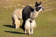 Free Alpaca (Vicugna Pacos Syn. Lama Pacos) Stock Photos - 7052593
