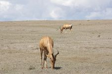 Free Blue Sky Red Hartebeest Pair Stock Photo - 7052600