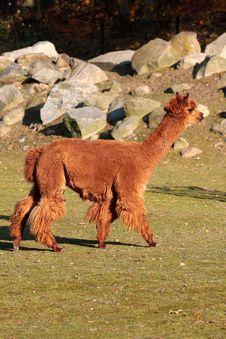 Free Alpaca (Vicugna Pacos Syn. Lama Pacos) Royalty Free Stock Photos - 7052608