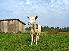 Free Nanny Goat Stock Photo - 7053030
